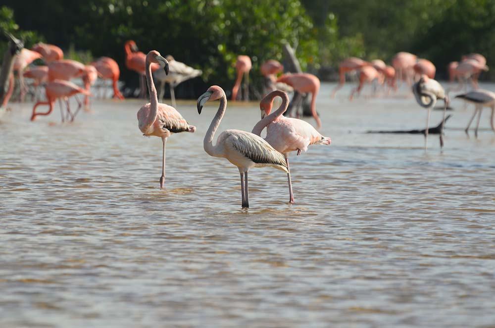 Flamingos near Celestun